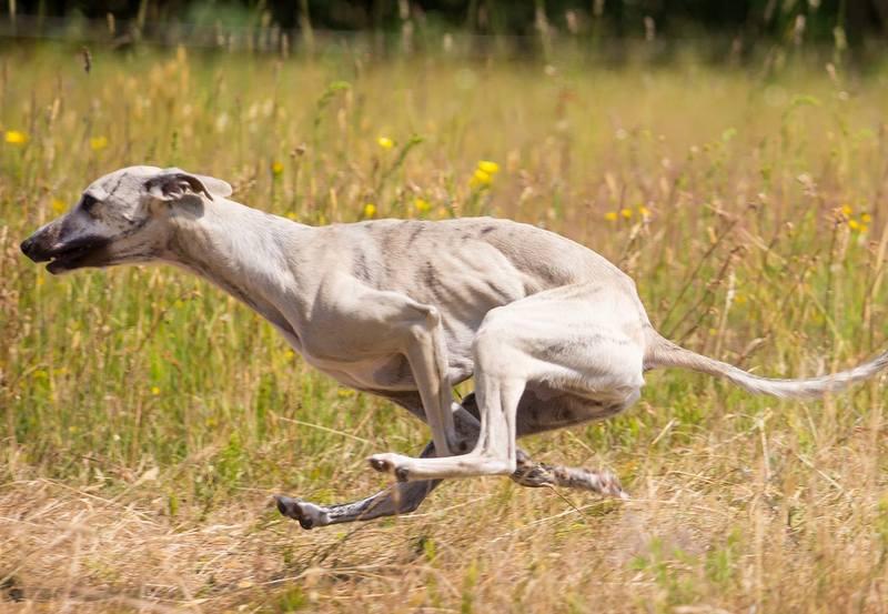 ADELAIDA GREENFIELD DOGS