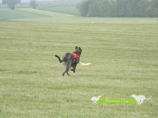 COURSING SIGHTHOUND